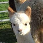 Barnacre alpacas